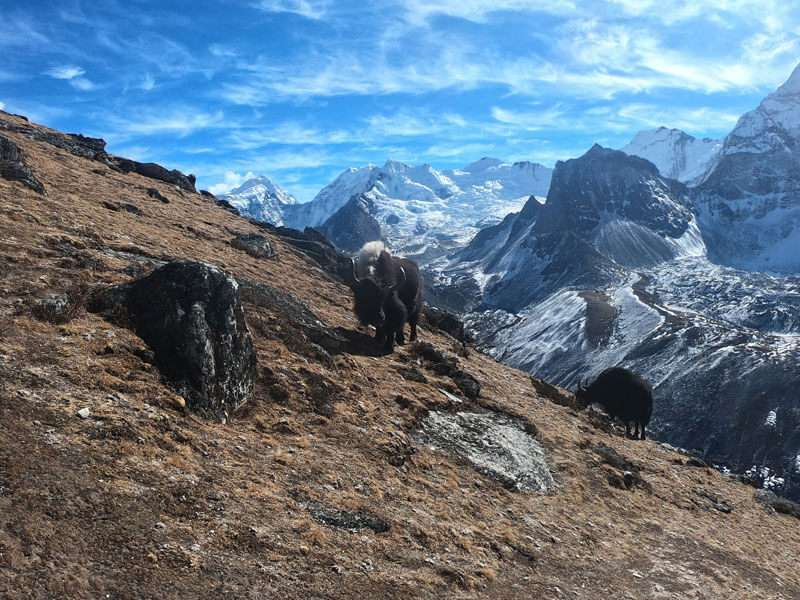 Yaks at Khumbu